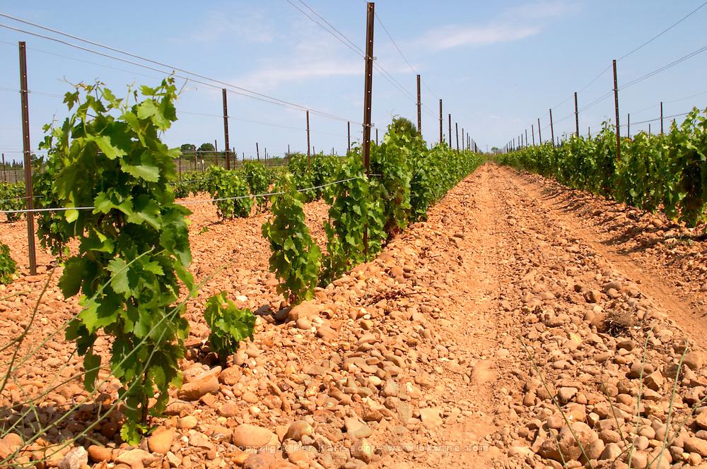 marselan recently planted vines sandy soil vineyard mas du notaire rhone france