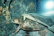 loggerhead sea turtle, Caretta caretta, with sharksuckers ( remoras ), Echeneis naucrates, on Bimini Barge wreck, at night, Bahamas ( Western Atlantic Ocean )