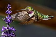 Broad-tailed Hummingbird, Selasphorus platycercus, drinks from flower in Grand Lake, Colorado