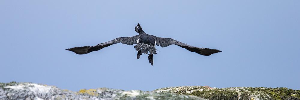 Escaping Cormorate | Skarv i flukt