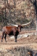 Ankole-Watusi, bull, Oklahoma