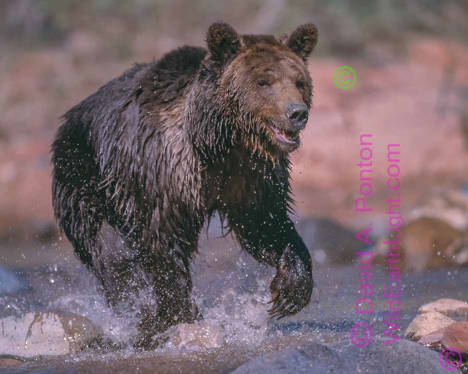 Grizzly bear running through stream, [captive, controlled conditions]  © David A. Ponton