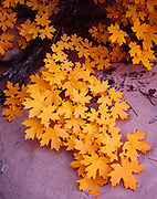 Bigtooth Maple, Acer grandidentatum, in autumn  along sandy canyon bottom of Clear Creek, Zion National Park, Utah.