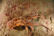 Octopus (Octopus vulgaris) (Octopoda) | Gewöhnlicher Krake