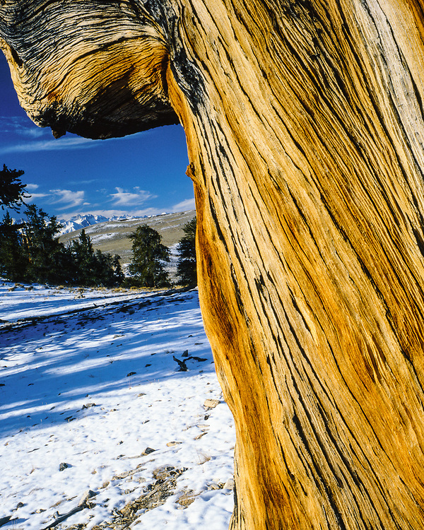 Bristlecone Pine Protected Area, Inyo National Forest, Caifornia, USA