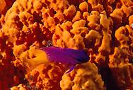 Fairy Basslet (Gramma loreto) against a bright orange basket sponge.  Bonaire