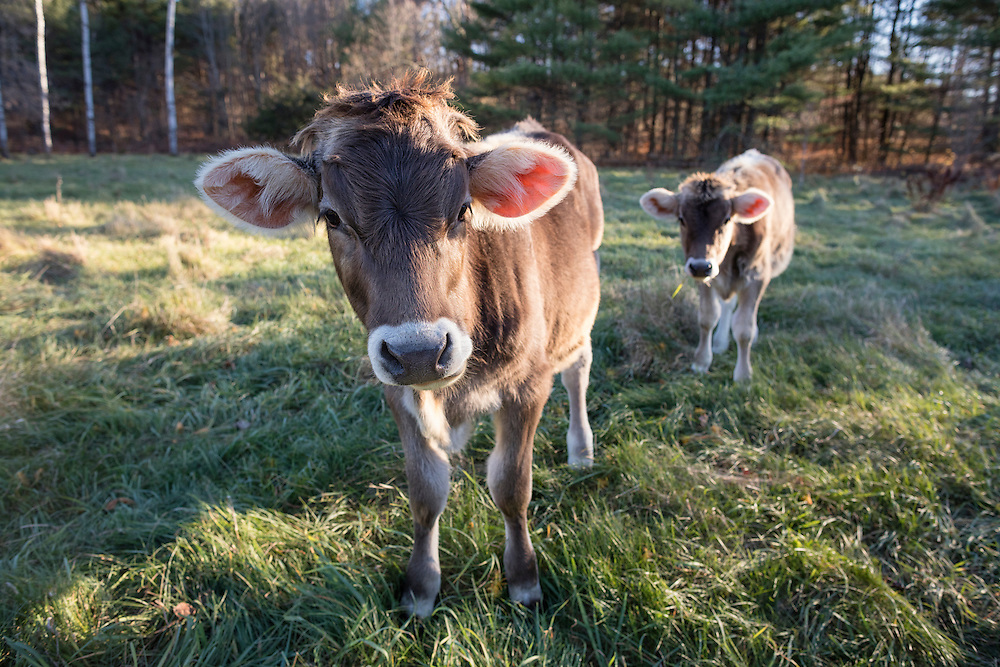 Two young Brown Swiss Cows