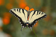 Butterfly, Eastern Tiger Swallowtail On An Orange Flower, Papilio Glaucus