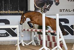 003, Wigan Van De Nieuwe Heide<br /> Hengstenkeuring Brp- Azelhof - Lier  2021<br /> © Hippo Foto - Dirk Caremans<br /> 14/04/2021
