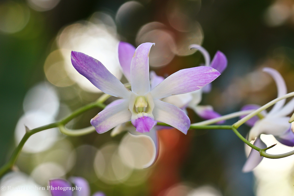 """""""Dance with Delight"""" 2<br /> <br /> Dance with delight in this magical white and purple orchid image filled with lovely light and bokeh!!<br /> <br /> Flower and floral images by Rachel Cohen"""