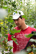 A young farmer picks cherry tomatoes at The Sahara Forest Project on the outskirts of Aqaba, on Jordan's southern Red Sea coastline. The farm uses desalinated sea water and greenhouses to sustainably farm crops in land that was once aris desert.