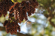 Black-Capped Chickadee in flight while eating out of pine cones.