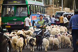 An Uyghur man rides motorcycle through traffic and herd of animals in Khotan, Xinjiang province in China.
