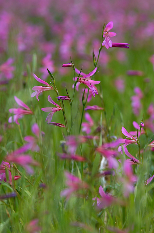 Field Gladiolus  (Gladiolus italicus), Northern Cyprus