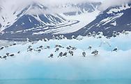 Black-legged Kittiwakes, Rissa tridactyla, on an iceberg, Svalbard, Norway