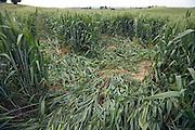 wheat flattend by tractor wheels
