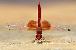 July 6, 2015 - Red Basker, Madikwe National Park, South Africa / (Urothemis assignata) / freistellbar (Credit Image: © Tuns/DPA/ZUMA Wire)