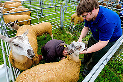 Biggar, South Lanarkshire, Scotland 23 July 2016<br /> Bluefaced Leicester sheep being prepared for showing.<br /> (c) Andrew Wilson | Edinburgh Elite media