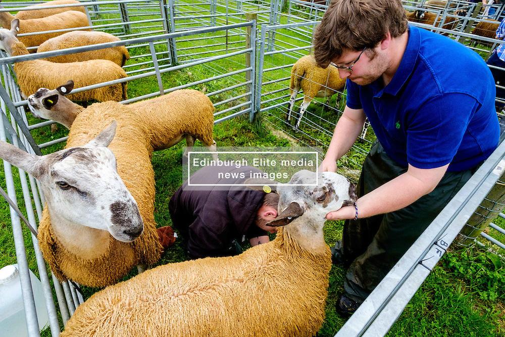 Biggar, South Lanarkshire, Scotland 23 July 2016<br /> Bluefaced Leicester sheep being prepared for showing.<br /> (c) Andrew Wilson   Edinburgh Elite media