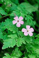 HERB-ROBERT Geranium robertianum (Geraniaceae) Height to 30cm. Straggling, hairy annual of shady hedgerows, rocky banks and woodlands. FLOWERS are 12-15mm across with pink petals and orange pollen; borne in loose clusters (Apr-Oct). FRUITS are hairy and in a long 'beak'. LEAVES are hairy and deeply cut into 3 or 5 pinnately divided lobes; often tinged red. STATUS-Common and widespread throughout.