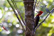 Nova Lima_MG, Brasil...O Pica-pau-de-topete-vermelho (Campephilus melanoleucos) no galho de uma arvore no condominio Passargada...Crimson-crested Woodpecker (Campephilus melanoleucos) on the branch tree in the condominium Passargada...Foto: JOAO MARCOS ROSA / NITRO