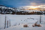 Elk herd on the Northern Range of Yellowstone at sunrise