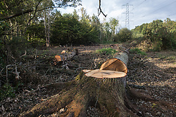 Denham, UK. 29th September, 2020. An area of Denham Country Park cleared of trees and undergrowth by tree surgeons working on behalf of HS2 Ltd for works connected to the HS2 high-speed rail link. Anti-HS2 activists based at the nearby Denham Ford Protection Camp and protesting against the destruction of the woodland contend that the area of Denham Country Park currently being felled is not indicated for felling on documentation supplied by HS2 Ltd.