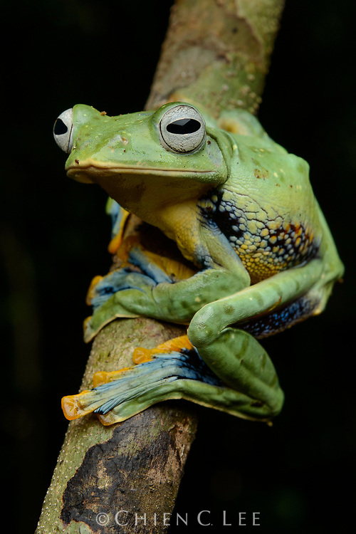 Bornean Gliding Frog (Rhacophorus borneensis), female. Sarawak, Malaysia (Borneo).