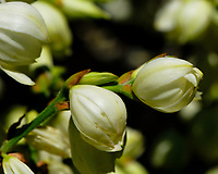 Yucca Flowers. Image taken with a Fuji X-H1 camera and 80 mm f/2.8 macro lens