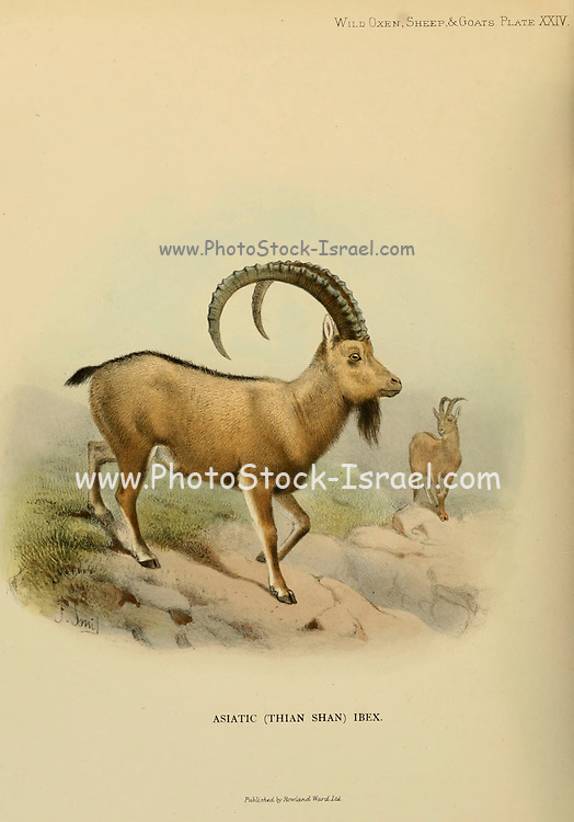 The Siberian or Asiatic (Thian Shan) ibex (Capra sibirica), also known as the Altai ibex or Gobi ibex, is a species of ibex that lives in central Asia. It has traditionally been treated as a subspecies of the Alpine ibex, and whether it is specifically distinct from other ibex is still not entirely clear.[1] It is the longest and heaviest member of the genus Capra, colour illustration From the book ' Wild oxen, sheep & goats of all lands, living and extinct ' by Richard Lydekker (1849-1915) Published in 1898 by Rowland Ward, London