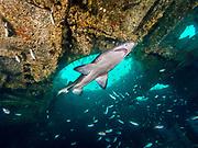 Sand tiger shark swims inside the Aeolus shipwreck  in North Carolina, USA