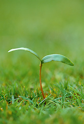 Sycamore seedling growing in a lawn