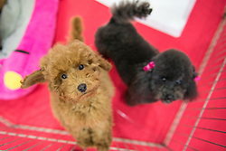May 25, 2019, Turin, Piedmont, Italy: Fluffy poodle dos at the Four Feet at the Fair Event for pet dogs and cats. (Credit Image: © Stefano Guidi/ZUMA Wire)