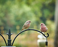 House Finch. Image taken with a Nikon D850 camera and 200 mm f/2 VR lens.