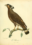 Serpentaire bacha Crested Serpent Eagle (Spilornis cheela) is a medium-sized bird of prey that is found in forested habitats across tropical Asia. Within its widespread range across the Indian Subcontinent, Southeast Asia and East Asia, from the Book Histoire naturelle des oiseaux d'Afrique [Natural History of birds of Africa] by Le Vaillant, François, 1753-1824; Publish in Paris by Chez J.J. Fuchs, libraire .1799