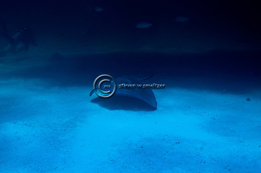 Southern Stingray, Dasyatis americana, Grand Cayman