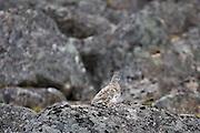 Breeding female White-tailed Ptarmigan (Lagopus leucura) near Hatcher Pass, Talkeetna Mountains, Alaska.
