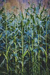 THEMENBILD - ein Maisfeld, aufgenommen am 12. August 2018, Kaprun, Österreich // a corn field on 2018/08/12, Kaprun, Austria. EXPA Pictures © 2018, PhotoCredit: EXPA/ Stefanie Oberhauser