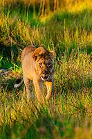 Female Lion in the bush, near Kwara Camp, Okavango Delta, Botswana.