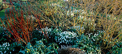 Cornus stems underplanted with snowdrops in a border at Glen Chantry - Galanthus 'Atkinsii'.