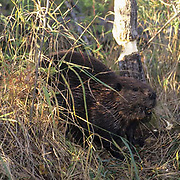 Beaver, (Castor canadensis) Beaver gnawing on trees. Southern Manitoba. Canada.