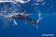striped marlin, Kajikia audax (formerly Tetrapturus audax ), feeding on baitball of sardines or pilchards, Sardinops sagax, off Baja California, Mexico ( Eastern Pacific Ocean ) #5 in sequence of 5 images (dm)