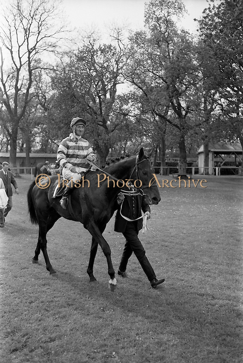 """08/05/1965<br /> 05/08/1965<br /> 08 May 1965<br /> The 1965 Gold Flake Meeting at Leopardstown Racecourse, Co. Dublin. Image shows Mr Raymond R. Guest's """"Rigi"""" (J.M. Purtell up) winner of the Three Castle Stakes being led in after the race."""