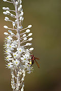 Wasp on a Sea Squill, (Drimia maritima) Photographed in Palestine, Mount Hebron,September