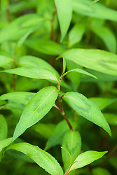 Vietmanese Coriander - Persicaria odorata. Rau Răm. Also called Vietmanese Mint