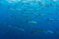 A school of large Mullet Snapper cruise near the surface<br /> <br /> <br /> Shot at Cocos Island, Costa Rica