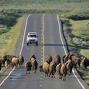 Bison (Bison bison) crossing a road in Hayden Valley in Yellowstone National Park.