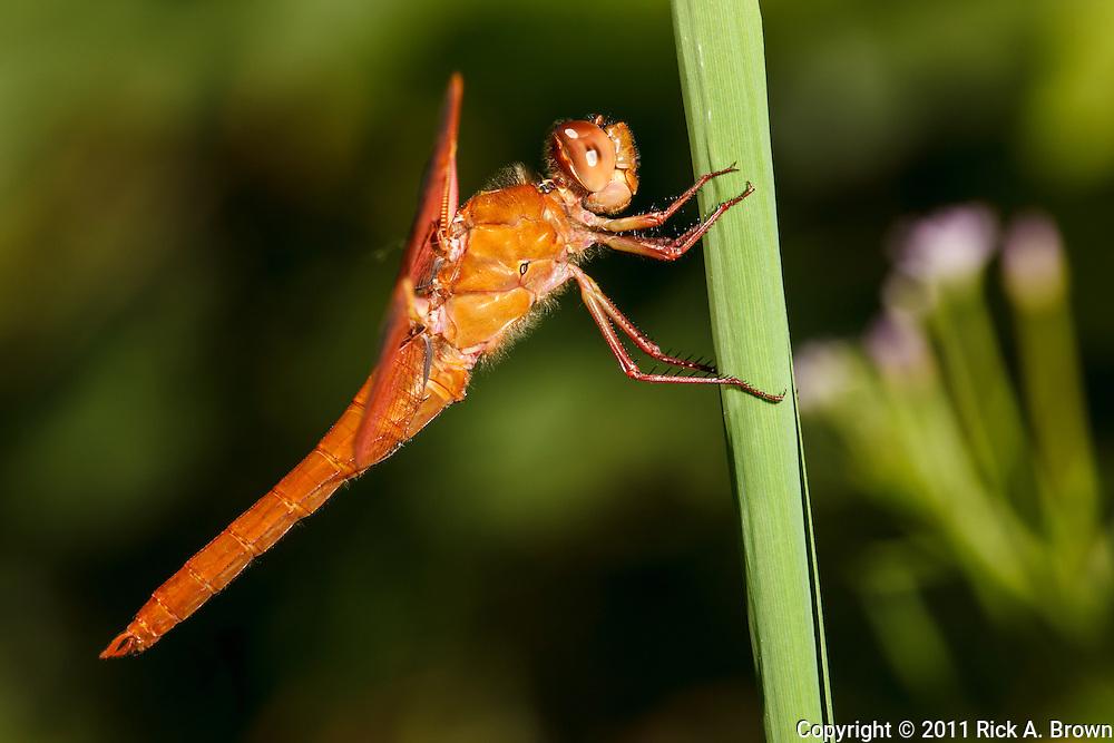 USA, Oregon, Albany, Freeway Ponds County Park,  male Flame Skimmer (Libellula saturata)