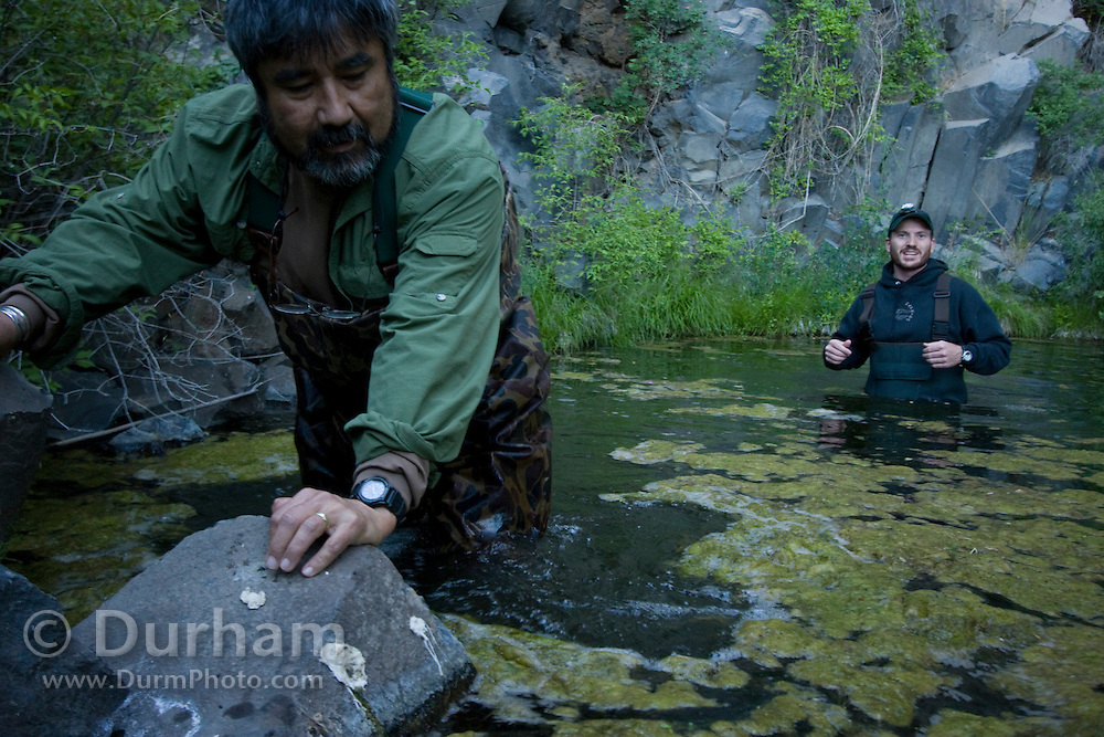 Forest Service biologist Sonny Paz (left) struggles in a mucky pond while Washington Department Of Fish And Wildlife biologist Mike Atamiua looks on. They are preparing to set up mist nets to catch bats once evening falls. The Nature Conservancy's Dutch Henry Falls preserve in Central Washington.