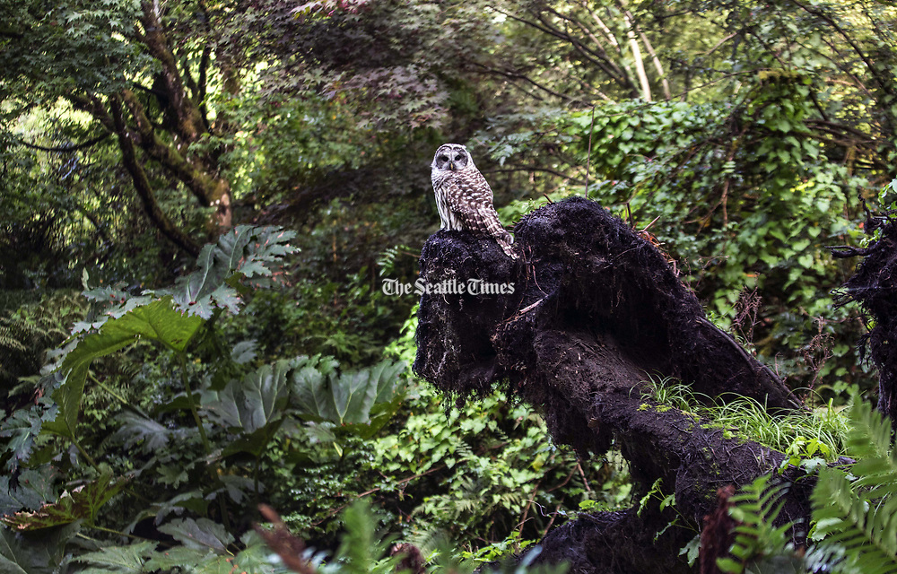 You never know what you might see on a hike. This is a barred owl, sitting on a downed tree's roots above the pond at the Woodland Garden section of the Washington Park Arboretum, looking for prey. Known also as hoot owls, barred owls are native to the northern East Coast but have expanded their territory to the West Coast, including Washington. (Steve Ringman / The Seattle Times)
